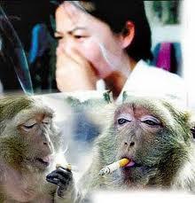ngerokok ? ga ada bedanya lu sama monyet